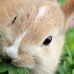 RHD-2 uitbraak onder konijnen